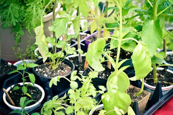 starter plants, garden