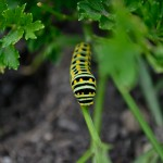 black and yellow caterpillar