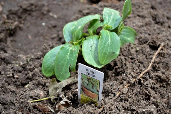 starter plant