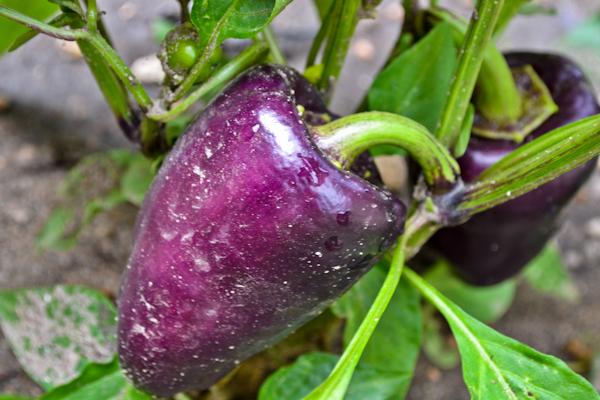pinot noir bell pepper