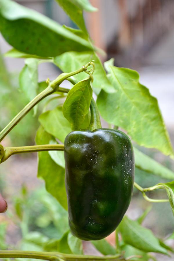 garden pablano pepper