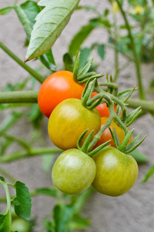 garden cherry tomato