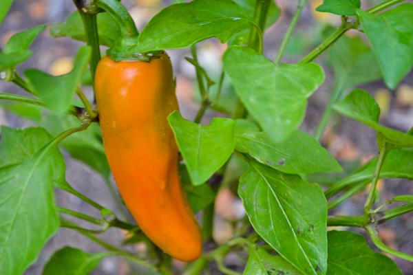garden orange jalapeño pepper