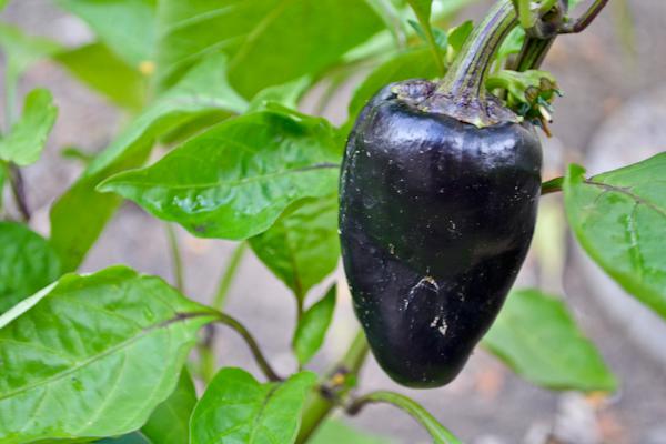 garden pinot noir bell pepper