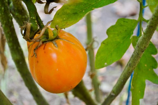garden amana orange tomato