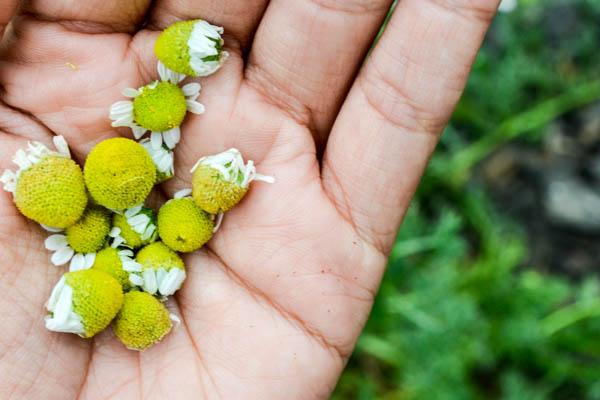 Harvesting Chamomile