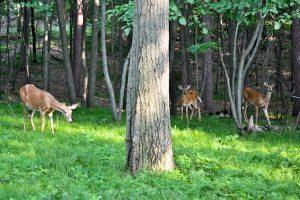 Deer In Minnesota